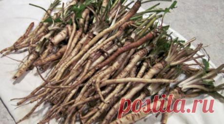 """Los científicos han descubierto la raíz, que mata 98 % de las jaulas del cáncer de todo en 48 horas Esta raíz era usado medikamentalno todavía de los tiempos antiguos. ¡Con todo eso, la ventaja más potente de esta maleza — lo que los investigadores médicos \""""han descubierto\"""" son su potencial para el tratamiento del cáncer! Esta raíz potente acumula la sangre y el sistema inmunitario — cura mejor la próstata, otros tipos fáciles y del cáncer, que la quimioterapia. Según el doctor de la Carolina Hamm del centro Regional oncológico del Windsor"""