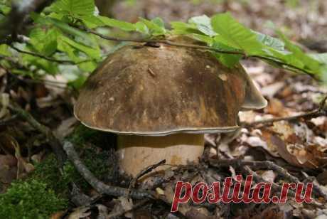 Анатомия белого гриба (часть 1) | Это грибы! | Яндекс Дзен