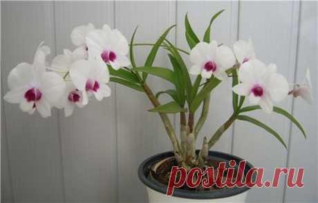 Como criar Dendrobium falenopsis en las condiciones de casa