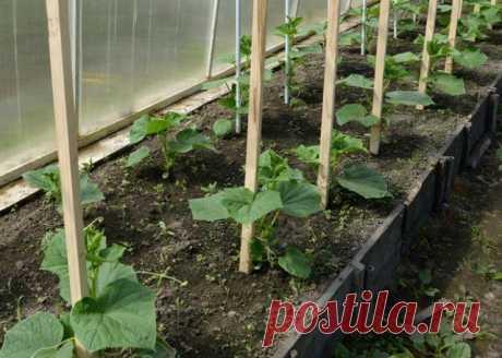 6 causas, por qué los pepinos dan la cosecha mala | los Pepinos (Огород.ru)