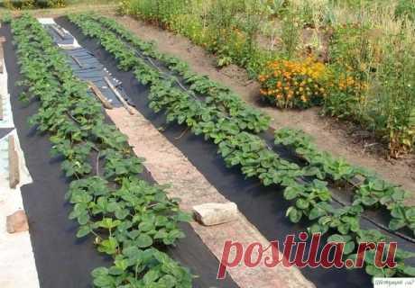 Как увеличить урoжайнoсть клубники?