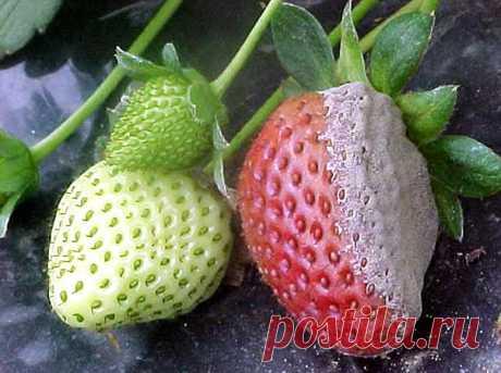 Как уберечь ягоды земляники от серой гнили?