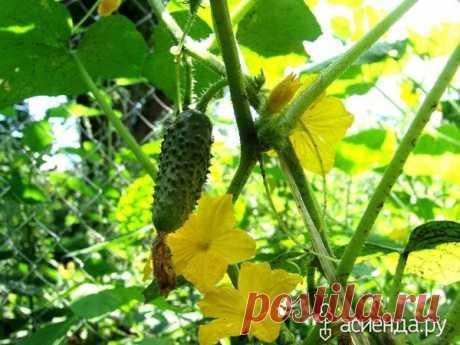 We increase an ovary on cucumbers | Giving, a garden, a kitchen garden | Yandex the Zen