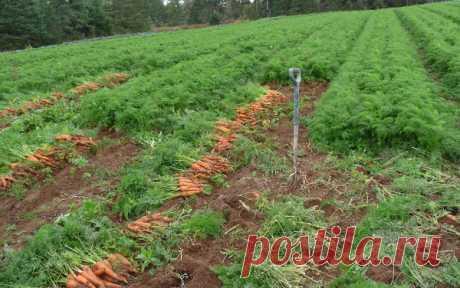 Что требуется моркови при выращивании в открытом грунте