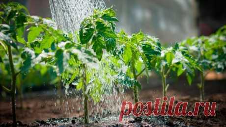 Как вырастить рассаду помидоров в домашних условиях? Сроки.