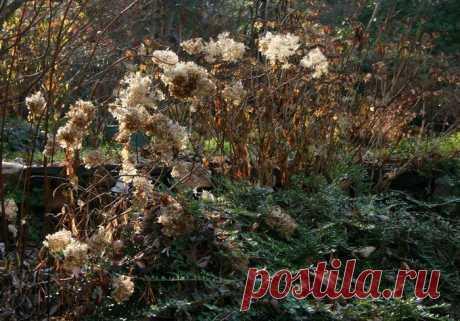 Как подготовить гортензию к зиме: 5 полезных подсказок как залог обильного цветения в новом сезоне.