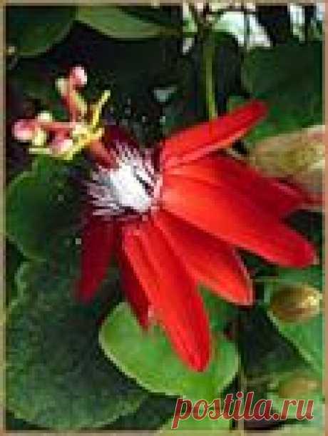 flowers-zemlya — альбом «Удивительные растения / Лианы» на Яндекс.Фотках. эта удивительная лиана имеет несколько названий: пассифлора, терновый венец, страстоцвет. Необычное для наших квартир растение, прекрасно чувствует себя на балконе, цветет с мая по сентябрь, у некоторых видов съедобные плоды. Цветки удивительные по форме, достигают величини до 10 см в диаметре.