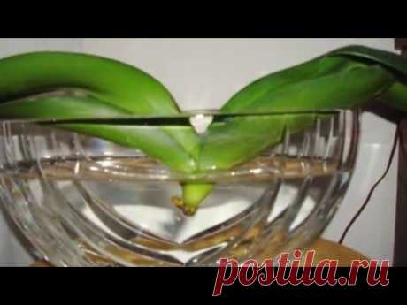 REANIMATION OF THE ORCHID IN WATER. 3 PART. HOW TO RESCUE THE ORCHID WITHOUT ROOTS.