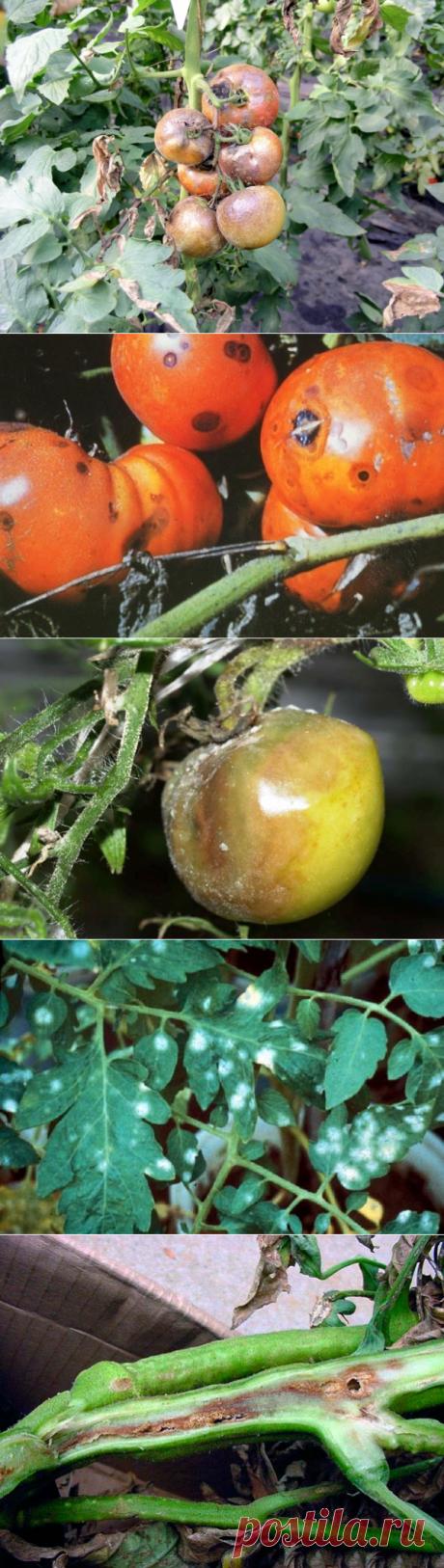Обзор болезней томатов: грибные, бактериальные и вирусные