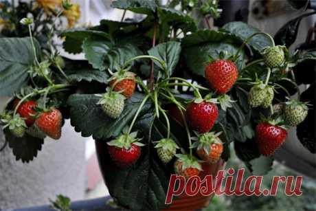 Комнатные растения для души и настроения: Клубника на подоконнике: как выращивать чудо-ягоду в домашних условиях