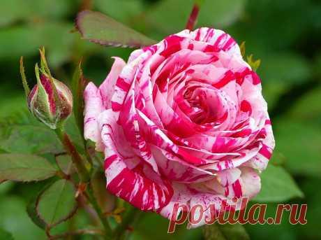 Розы. Галерея красивых фото (20 фото)