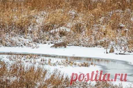Заснеженное утро на лесном озере в Новосибирской области. Выдра только что добыла крупного окуня, но после завтрака решила нырнуть за добавкой. Автор снимка – Татьяна Нурхайдарова: nat-geo.ru/community/user/203410/