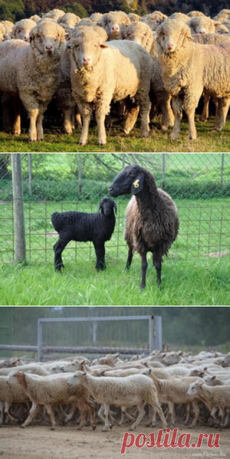 Бакурская порода овец - БиоКорова