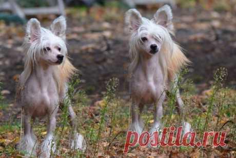 Китайская хохлатая собака — фото, описание породы, особенности голой разновидности