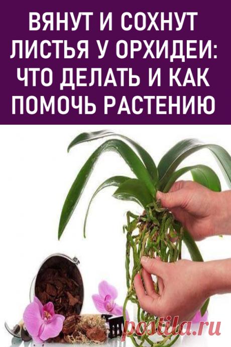 Вянут и сохнут листья у орхидеи: что делать и как помочь растению. 6 основных причин вялости листьев у орхидей. #мойдом  #дача #цветы #комнатныерастения #комнатныецветы #орхидеи #вянутлистьяуорхидей