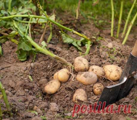 Як доглядати за ґрунтом після картоплі. Обробка, добрива, сидерати. Фото - ЗЕЛЕНА САДИБА