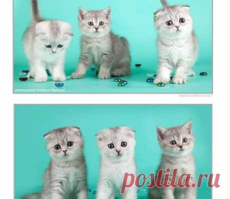 котятки из питомника