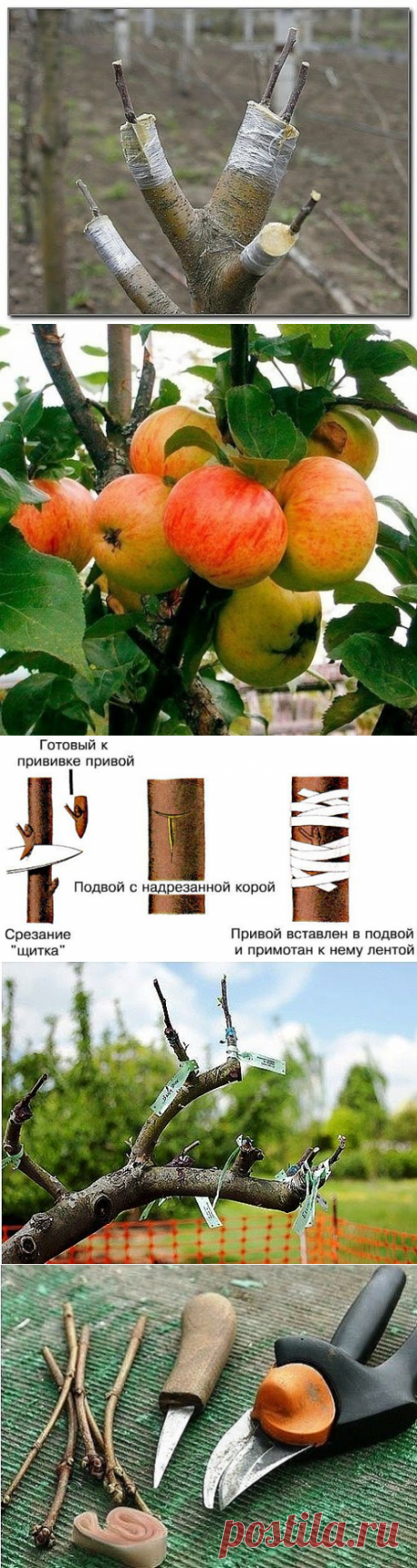 AS it is CORRECT to IMPART SEVERAL GRADES (councils of the agronomist) ON ONE APPLE-TREE