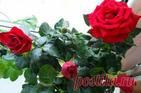 Правильный уход за комнатной розой в домашних условиях | Огород