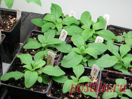 Как правильно прищипывать петунию для обильного цветения в домашних условиях