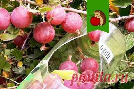Как я усовершенствовала свое приспособление для сбора ягод и фруктов? | садоёж | Яндекс Дзен