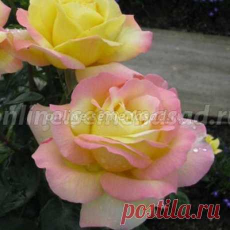Роза чайно-гибридная Глория Дей (Пис), купить в Москве, ● чайно-гибридные с доставкой по России