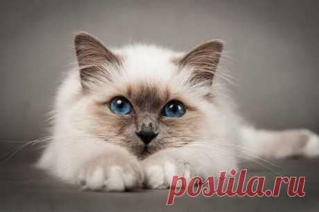 Самые красивые породы кошек - фото с названиями, описания пород. Мы собрали 20 самых красивых пород кошек в мире.