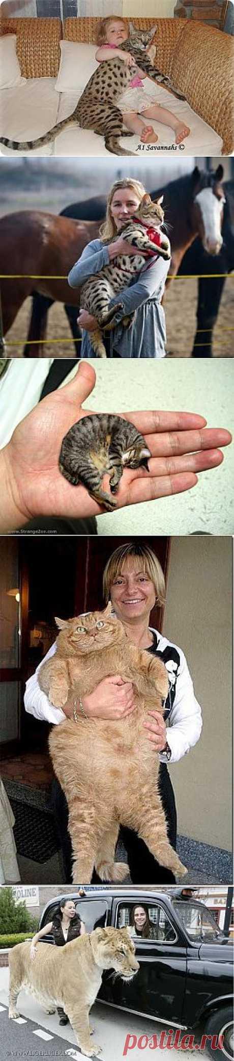 Самые большие кошки в мире фото и видео. Дикие и домашние кошки