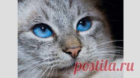 Породы кошек с голубыми глазами. Часть 2: белоснежки и мутанты - Питомцы Mail.ru
