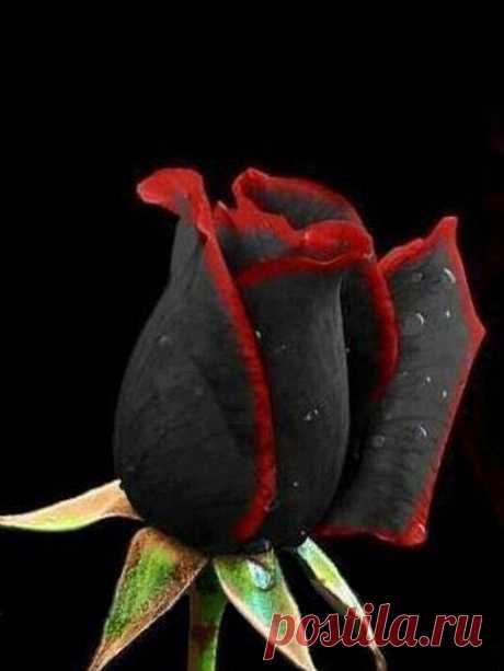 100шт черная роза Семена цветок с красным краем Редкий роза Сад бонсай Семена