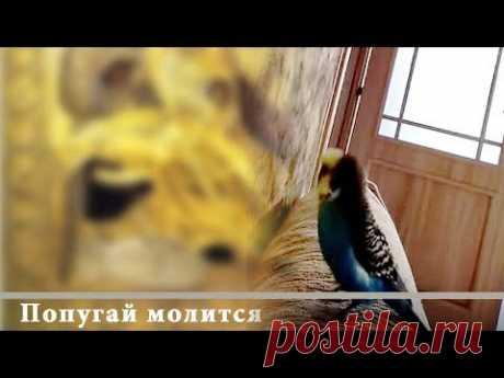 Попугай молится (произносит слова молитвы). Говорящий попугай. Хорошее видео. - YouTube