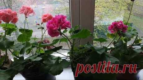 Пеларгония( герань) после зимы.Как заставить пеларгонию пышно цвести