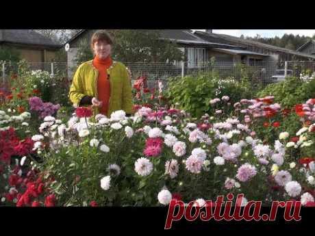 Астры однолетние – выращивание от посева до цветения - YouTube