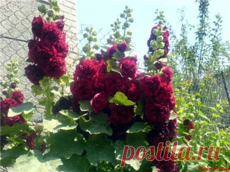 EVERYTHING THAT IT IS NECESSARY TO KNOW ABOUT CULTIVATION OF THE HOLLYHOCK OR SHTOK-ROZY