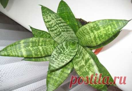 Можно ли дома держать растение щучий хвост? Полезные свойства сансевиерии и приметы