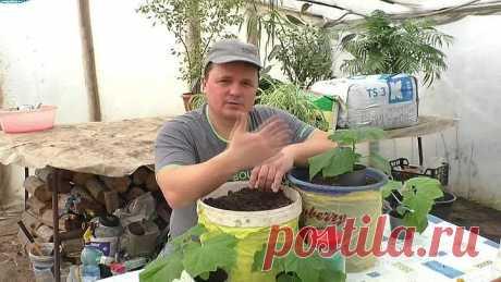 Огурцы. Выращивание в вёдрах ранней весной!