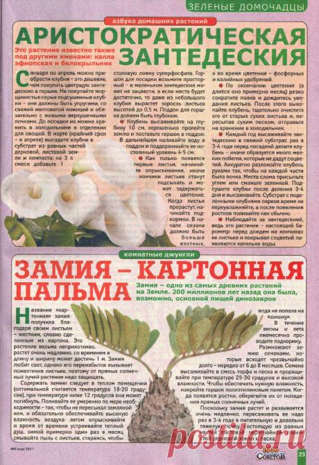 Зантедеския (белокрыльник, калла эфиопская). Замия - картонная пальма