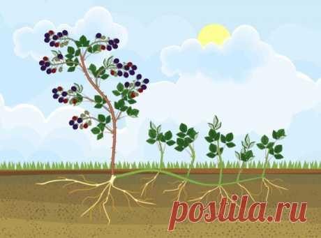 Что посадить рядом с малиной, чтобы она не разрасталась   Малина, ежевика (Огород.ru)