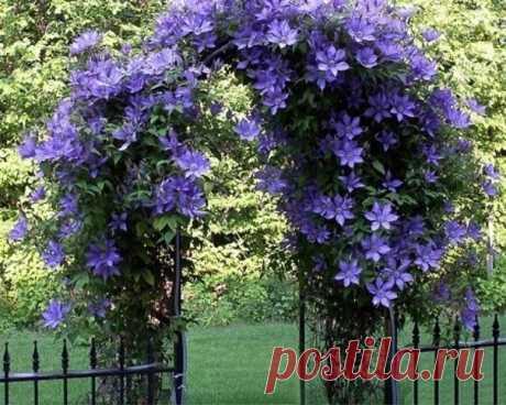 КАК ПОДОБРАТЬ «КЛЮЧИ» К КЛЕМАТИСУ  «Из цветов я выращиваю в своем саду только клематисы и розы», - говорит почвовед-эколог Павел ТРАННУА, который любит эти цветы за мощь и силу, а главное за то, что цветут с июня по сентябрь: всё лето участок в ярких цветах.  Действительно, клематис по своим возможностям, наверное, самый удобный цветок для украшения загородного дома: им можно увить весь фасад (поднимается сплошной стеной до высоты 3 метров), его можно пустить на оградитель...