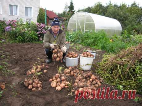 С каждого куста картофеля — по два ведра урожая — 6 соток