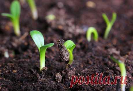 Семена сажаем в.... кипяток!