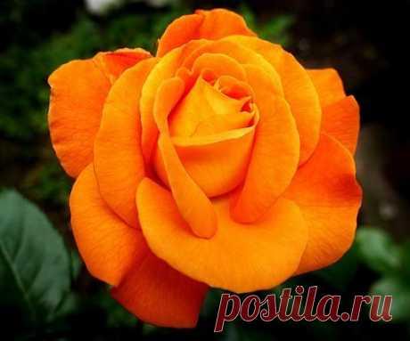 Rose Fotos - Descarga imágenes gratis - Pixabay