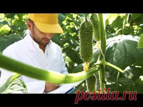 Огурцы в июне кормлю этим урожай бесподобный!
