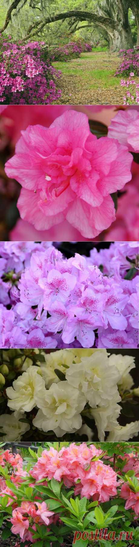 Посадка азалии, выращивание и уход.Сорта.Если вы считаете что азалии — это исключительно комнатные или оранжерейные цветы, то вы глубоко ошибаетесь. Оказывается, есть зимостойкие сорта этого прекрасного растения, которые спокойно выдерживают минусовую температуру до –27 °С. Чтобы вы смогли разобраться, какие именно виды азалий можно выращивать у себя в саду, мы постараемся детально рассказать о посадке и уходе за этим великолепным кустом.