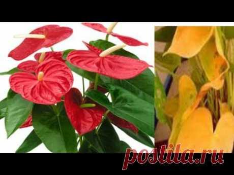 Антуриум - почему гибнет растение?
