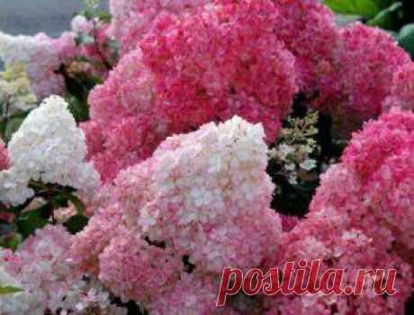 Гортензия метельчатая: посадка и уход весной, размножение