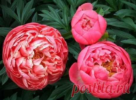 4 этапа внесения удобрений для пышного цветения пионов