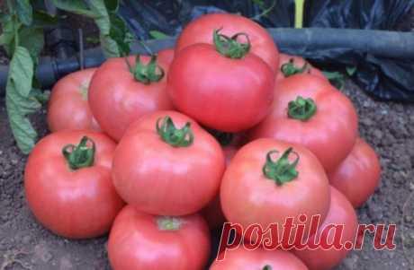 """Томат """"Роза ветров"""": характеристика, описание сорта, советы по выращиванию отличного урожая помидор, фото-материалы"""