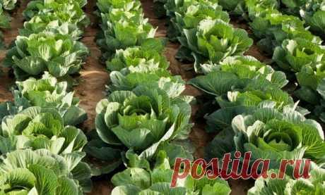 Как валериана способна спасать капусту