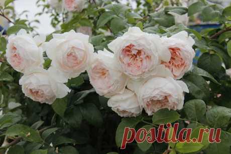 Бисантенэр де гийо роза - Портал о стройке в Яндекс.Коллекциях